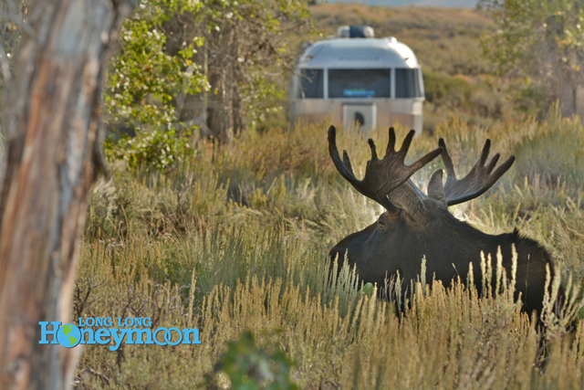 During late summer in Gros Ventre, moose enter the campground on a daily basis.